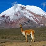 Vicuna Chimborazo Ecuador